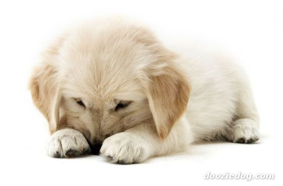 puppy-golden-retriever